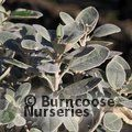 Small image of BRACHYGLOTTIS