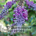 Small image of BUDDLEJA