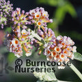 BUDDLEJA x weyeriana 'Moonlight'