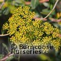 Small image of BUPLEURUM