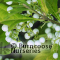 Small image of CALLICARPA