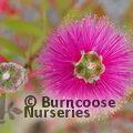 CALLISTEMON citrinus 'Perth Pink'