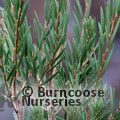 Small image of CALLISTEMON