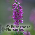 Small image of HEATHERS Calluna