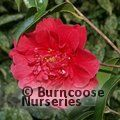 CAMELLIA 'Doctor Clifford Parks'
