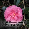 CAMELLIA 'Celebration'