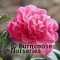 Photo of Camellia - two year old plant for £30 inc gift wrap and c&p, SAVE £7.00