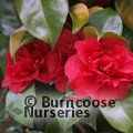 Photo of Camellia 2 year old plant for £25.00 inc c&p, save £7.00