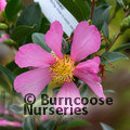 Photo of CAMELLIA 'Hugh Evans'