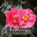 Small image of CAMELLIA