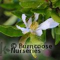CAMELLIA sasanqua white