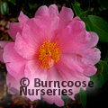 CAMELLIA 'Winter's Dream'