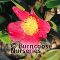 Photo of Camellia Yuletide for £41.00