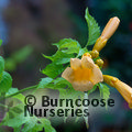 CAMPSIS radicans 'Yellow Trumpet'