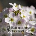 Small image of CARDAMINE