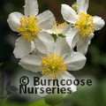 CARPENTERIA californica 'Ladhams Variety'
