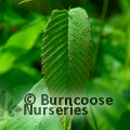 Small image of CARPINUS