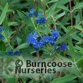 Small image of CARYOPTERIS