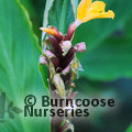 Small image of CAUTLEYA