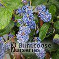 CEANOTHUS arboreus 'Trewithen Blue'