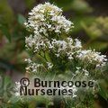 Small image of CENTRANTHUS