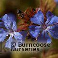 CERATOSTIGMA willmottianum 'Forest Blue'