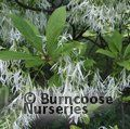 Small image of CHIONANTHUS