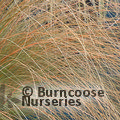 Small image of CHIONOCHLOA