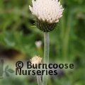 CIRSIUM rivulare 'Frosted Magic'