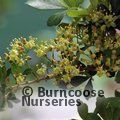 Small image of CISSUS