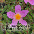 Photo of CISTUS creticus