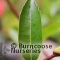 Small image of CITHAREXYLUM