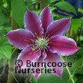 CLEMATIS LARGE FLOWERED SUMMER VARIETIES