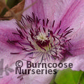Small image of CLEMATIS