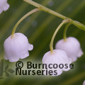 LILY OF THE VALLEY Common white form