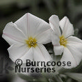 Small image of CONVOLVULUS