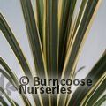 Small image of CORDYLINE