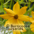 Small image of COREOPSIS