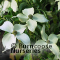 CORNUS kousa var chinensis 'China Girl'