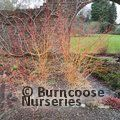 CORNUS sanguinea 'Midwinter Fire'