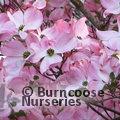 CORNUS x rutgersensis 'Stellar Pink'