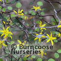 Small image of COROKIA