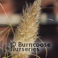 Small image of PAMPAS GRASS - see CORTADERIA