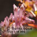 Small image of CORYDALIS