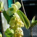 CORYLOPSIS glabrescens 'Chollipo'