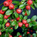 COTONEASTER 'Coral Beauty'
