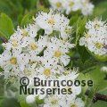 Small image of CRATAEGUS