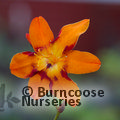Small image of CROCOSMIA