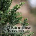 Small image of CRYPTOMERIA