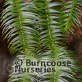 Small image of CUNNINGHAMIA